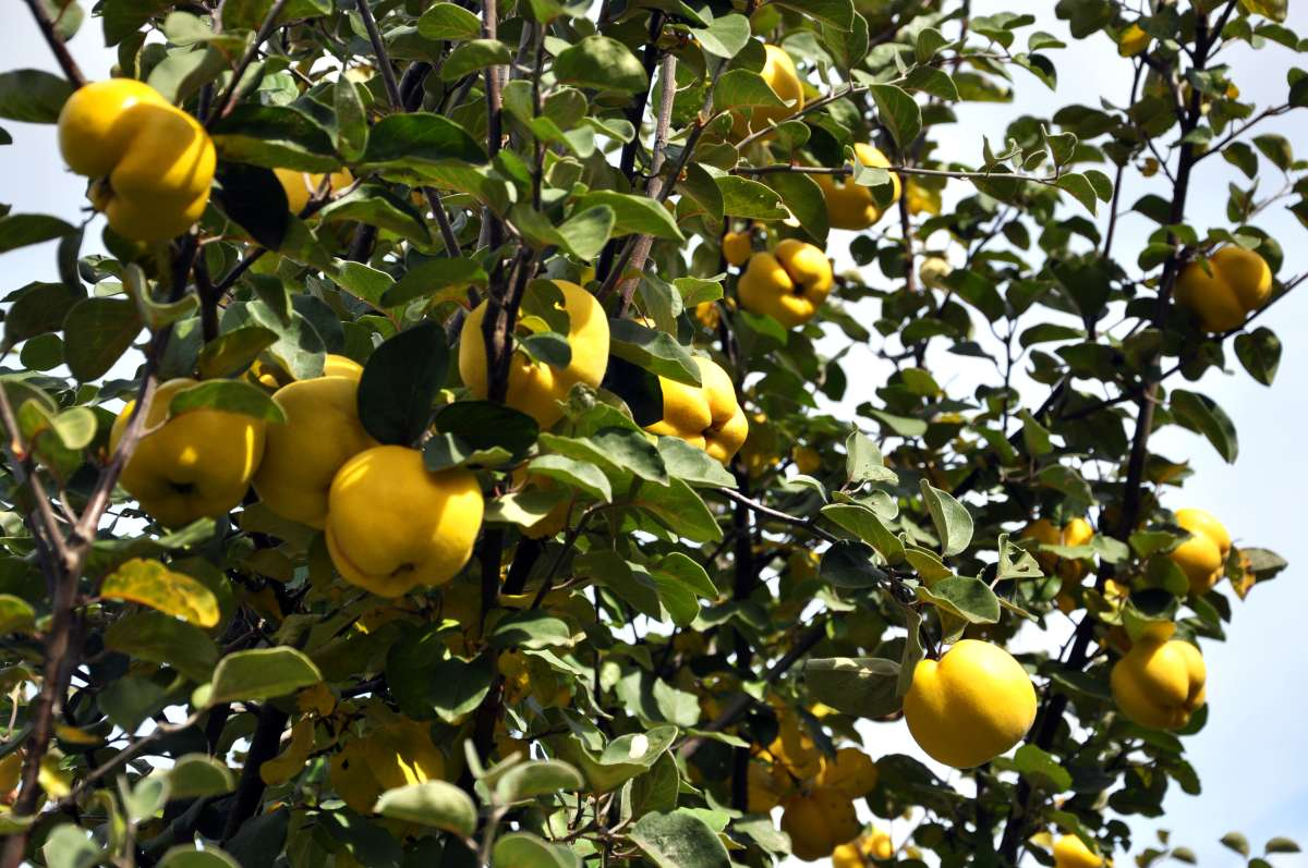 Dula jabĺčková